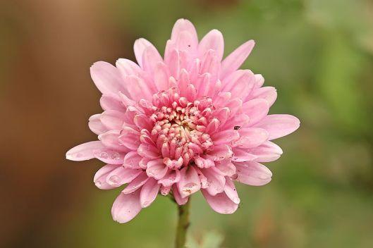 800px-Chrysanthemum_sp
